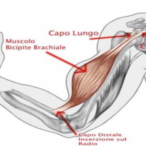 bicipite-brachiale-news-aipt
