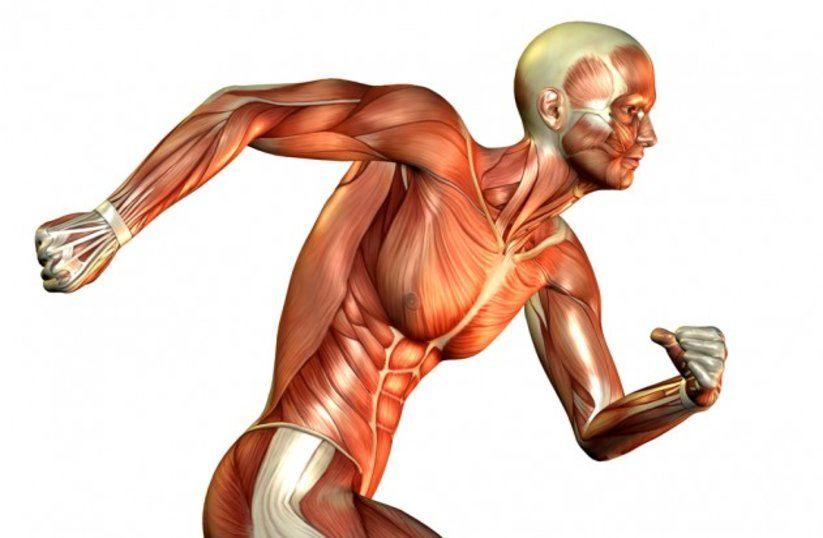 fibre-muscolari